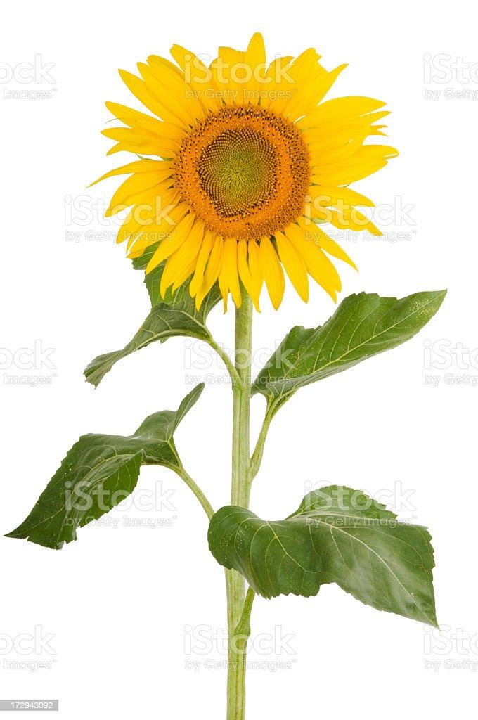 Beautiful sunflower on white background. royalty-free stock photo