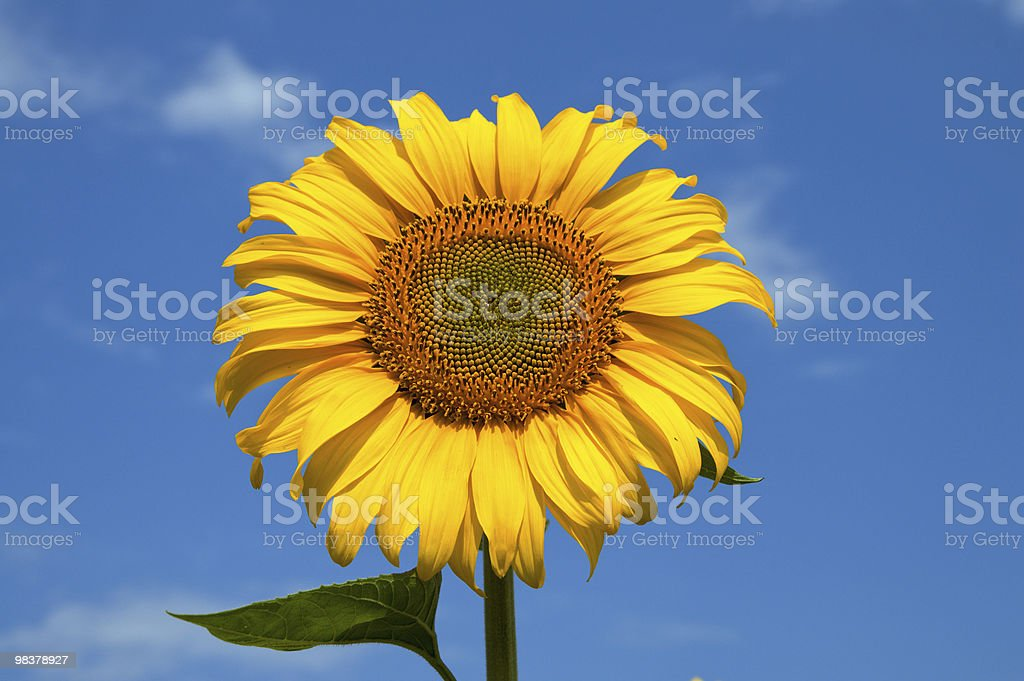 beautiful sunflower royalty-free stock photo