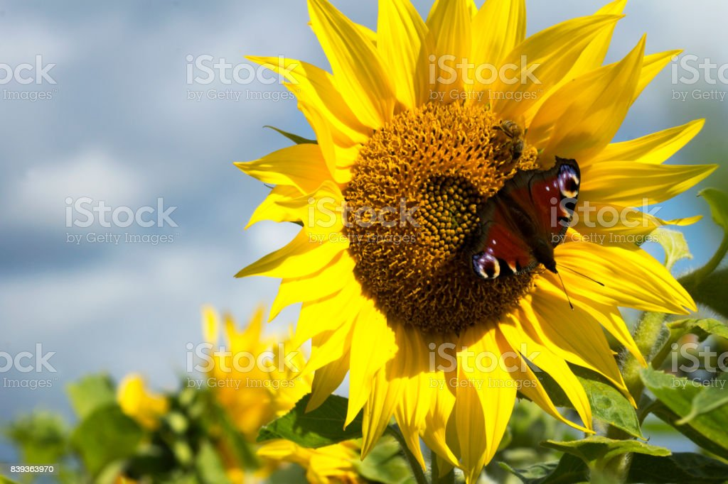 Beautiful sunflower with a  butterfly stock photo