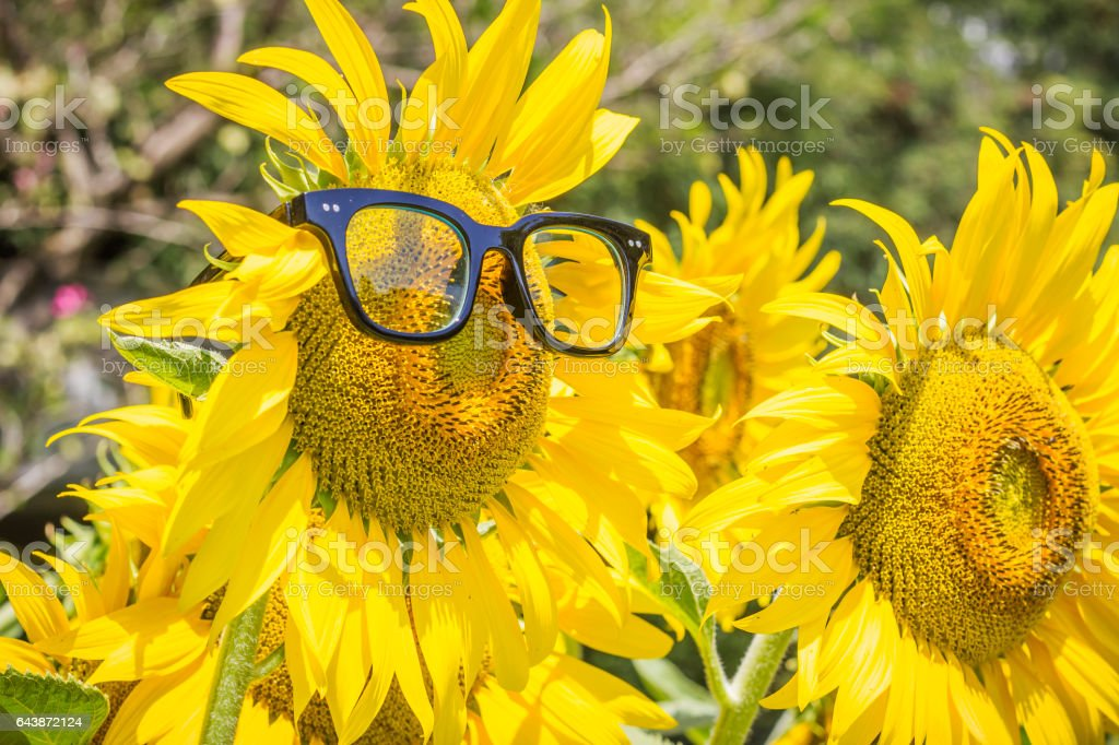 Beautiful Sunflower with glasses in sunlight and in the garden. stock photo