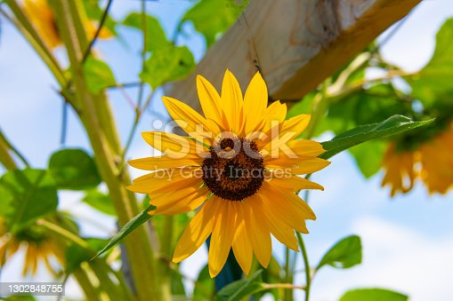Beautiful Sunflower with Honey Bee-Howard County Indiana