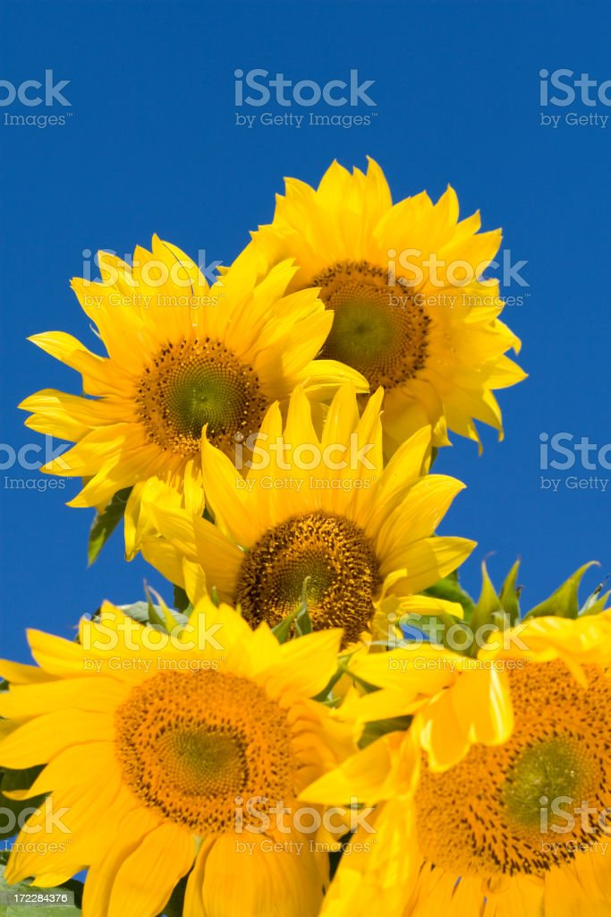 Beautiful sunflowers against blue sky royalty-free stock photo