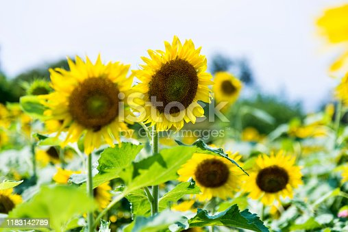 Beautiful sunflowers at the field