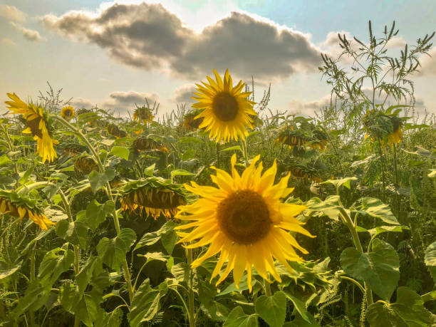 Beautiful Sunflowers blooming in a field with clouds and sun stock photo