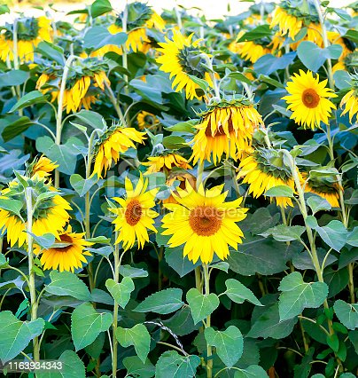 Sunflowers - beautiful sunny flowers in full bloom