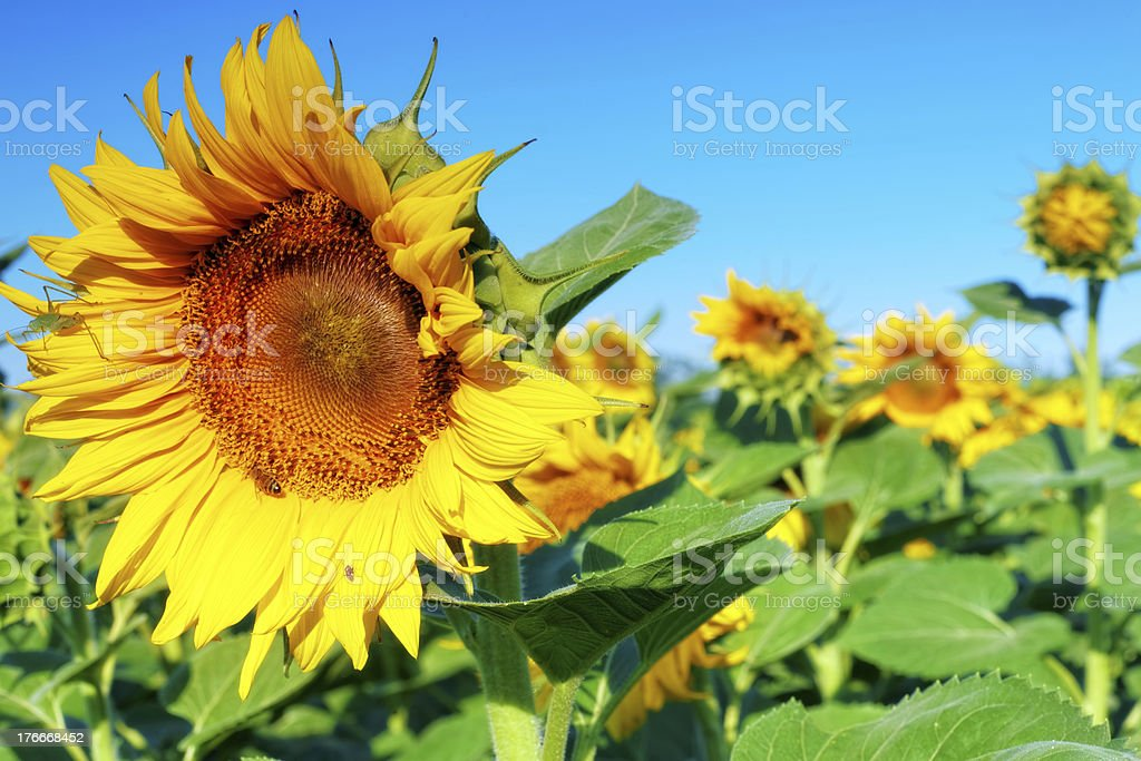 Beautiful sunflowers in the summer field royalty-free stock photo