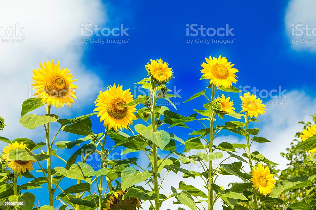 Beautiful sunflowers on the blue sky royalty-free stock photo