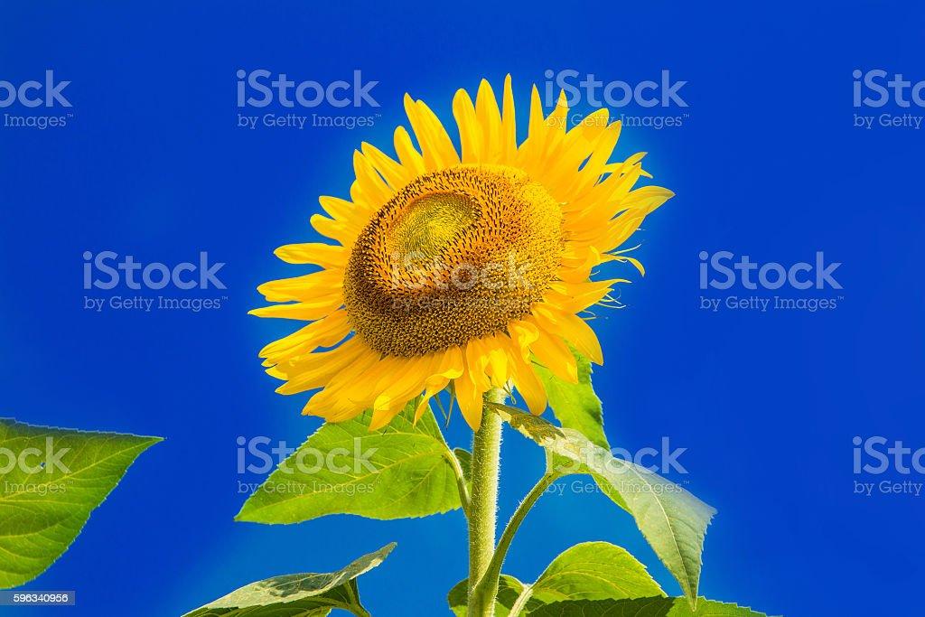 Beautiful sunflowers on the blue sky Lizenzfreies stock-foto