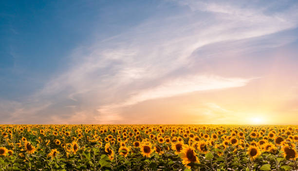 Beautiful sunflowers on the sunset with a beautiful sky.