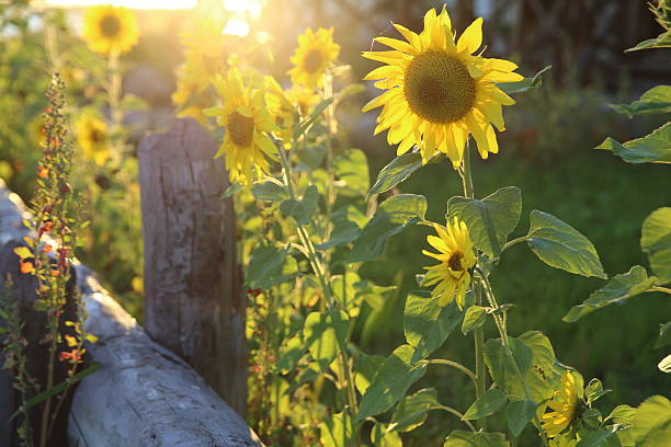 Schöne Sonnenblumen – Foto