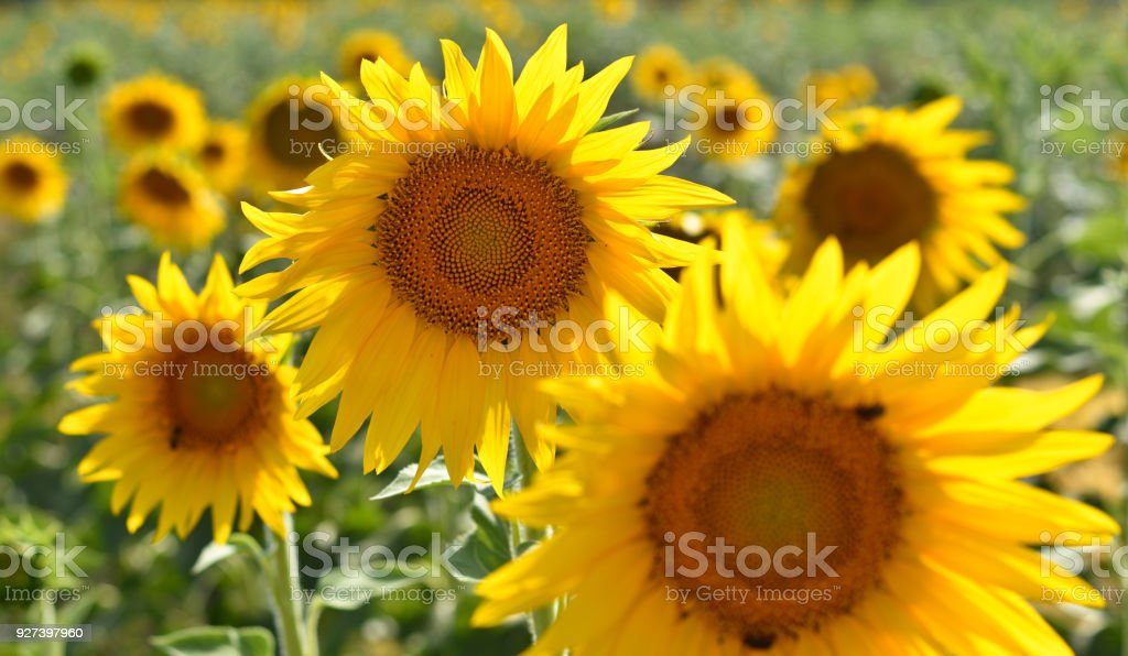 Beautiful sunflowers stock photo