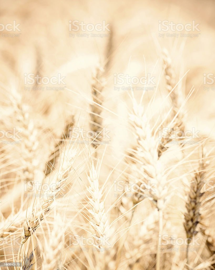 Beautiful Sunlit Wheat Field royalty-free stock photo