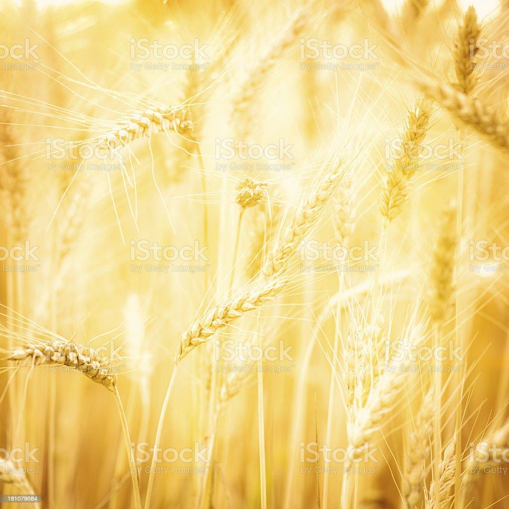 Beautiful Sunlit Wheat Field royalty-free stock photo