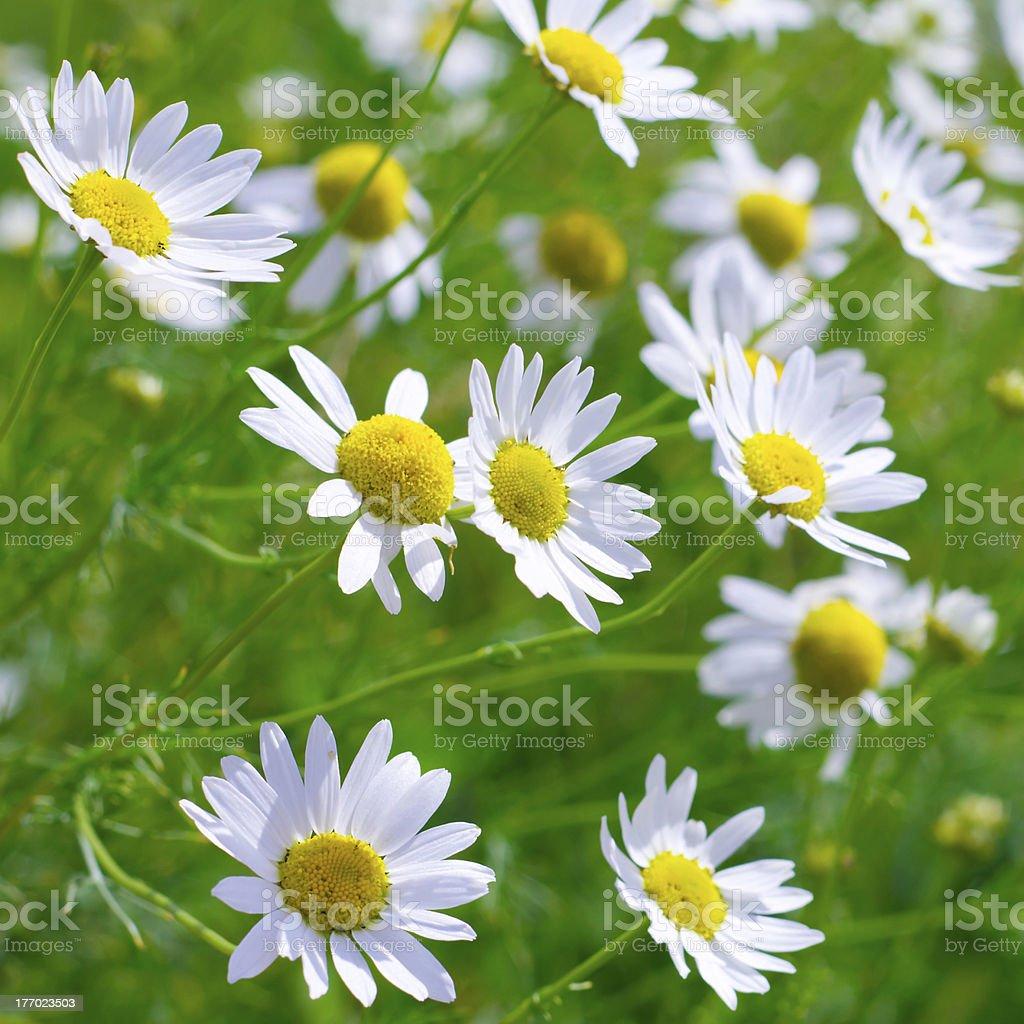 Beautiful sunny chamomile flowers close-up royalty-free stock photo