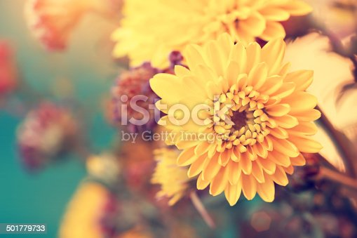 beautiful sunny yellow aster flowers