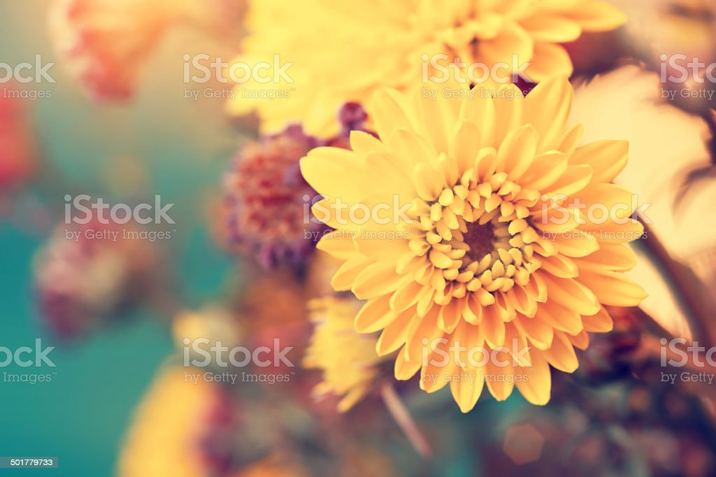 beautiful sunny yellow aster flowers stock photo