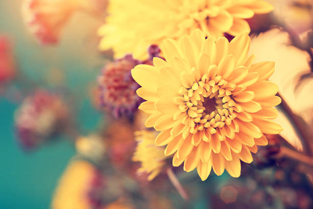 beautiful sunny yellow aster flowers - vintage flowers stock photos and pictures