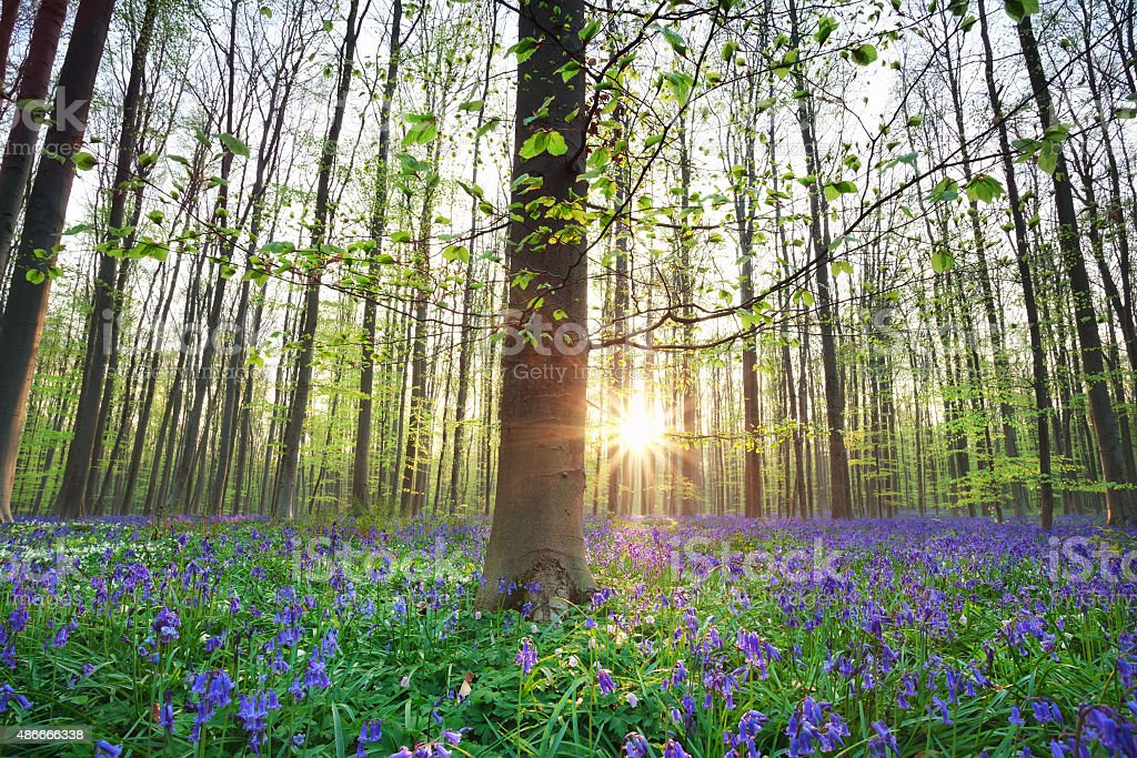 beautiful sunrise in blue bell spring forest stock photo