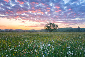 Beautiful sunrise in the flowering valley, scenic landscape with wild growing flowers and color cloudy sky. Daffodil valley, nature reserve near Khust, Transcarpathia, Ukraine