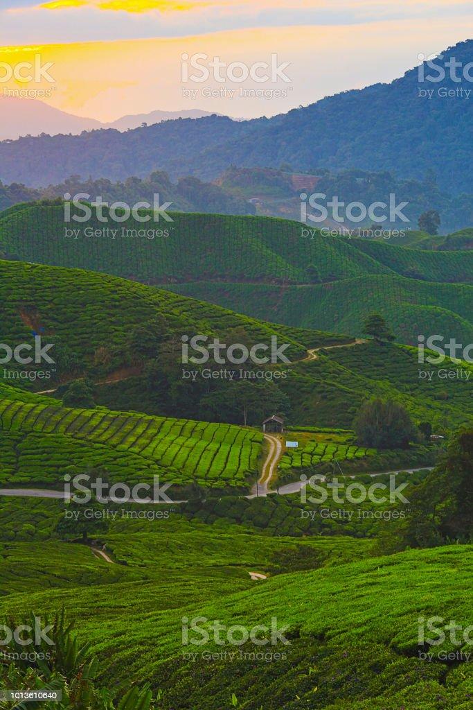 Schönen Sonnenaufgang über grünen Tee-Plantage. – Foto