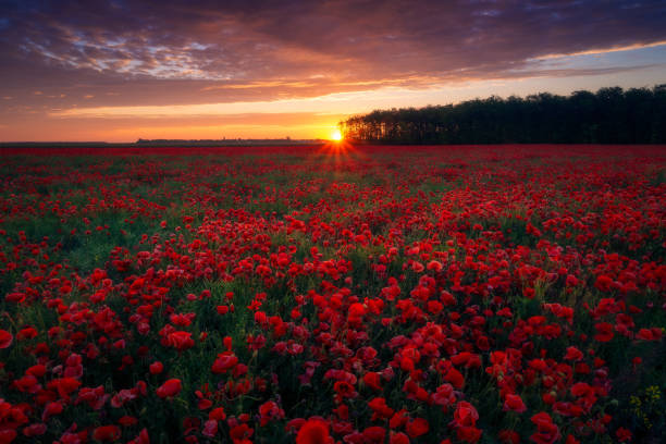 Beautiful sunrise sunset seen from an amazing poppy field located at the edge of a forest with a beautiful colored cloudy sky stock photo