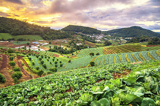 beautiful sunrise view at cabbage field in mon jam mountain - organic farm stock photos and pictures