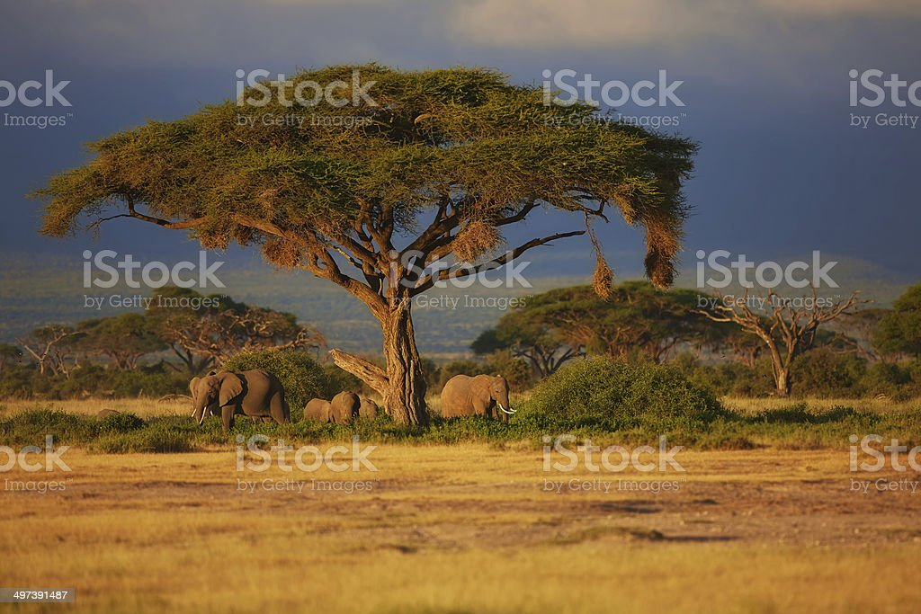 Beautiful sunrise with African Elephants under a tree stock photo
