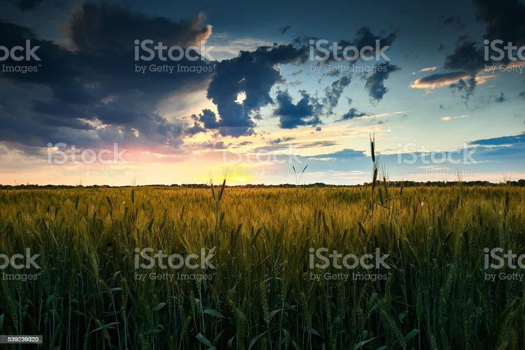 Hermosa puesta de sol en el campo, paisaje de verano, verde trigo foto de stock libre de derechos