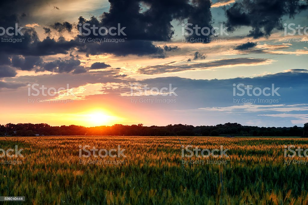 beautiful sunset in field, summer landscape, green wheat royalty-free stock photo