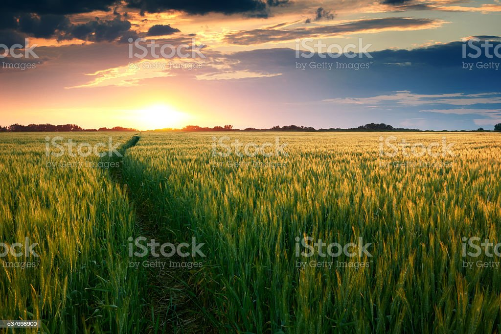 beautiful sunset in field with pathway to sun, summer landscape stock photo