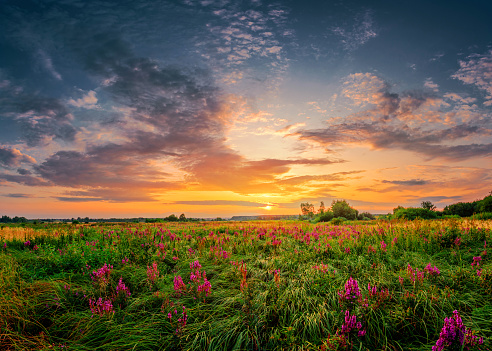 Beautiful sun set landscape with a wild field full of purple flowers and green grass. Sunset cloudy sky above meadow.