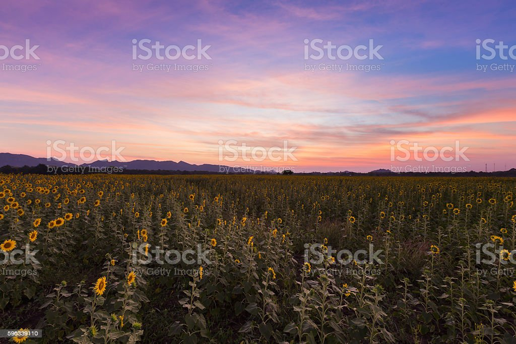 Beautiful sunset sky over sunflower field royalty-free stock photo
