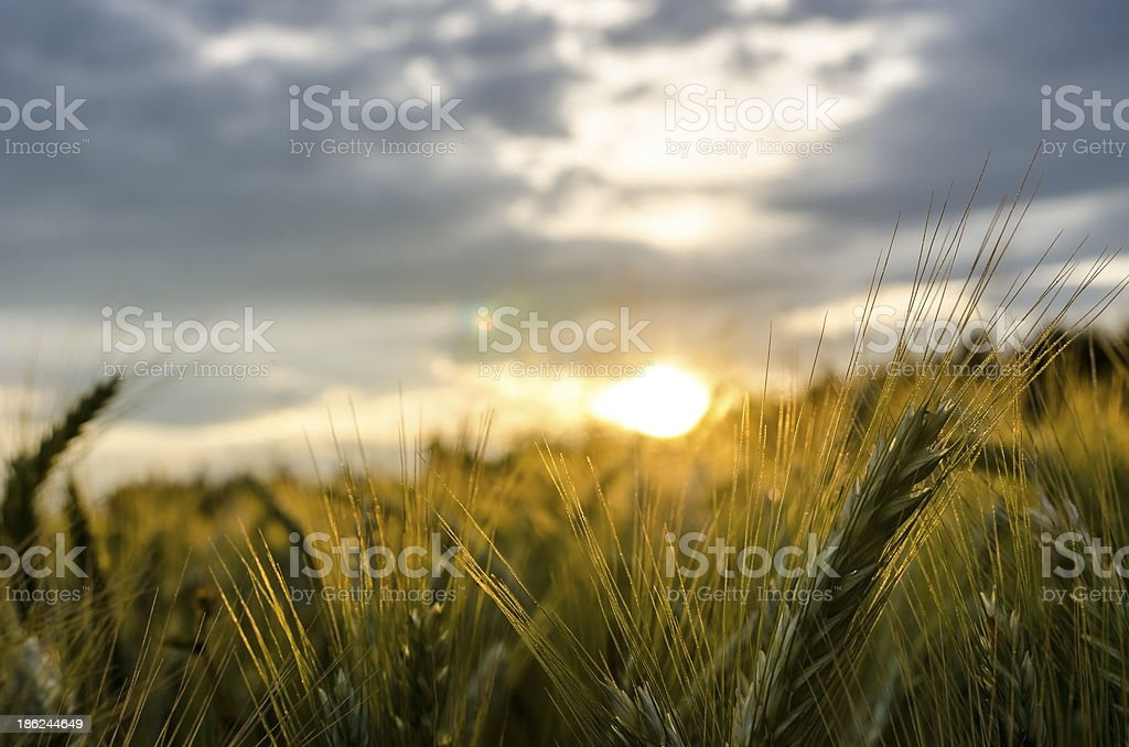 Beautiful sunset through wheat field royalty-free stock photo
