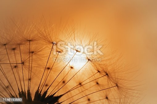 Summer sunset with dandelion silhouette, blurred nature