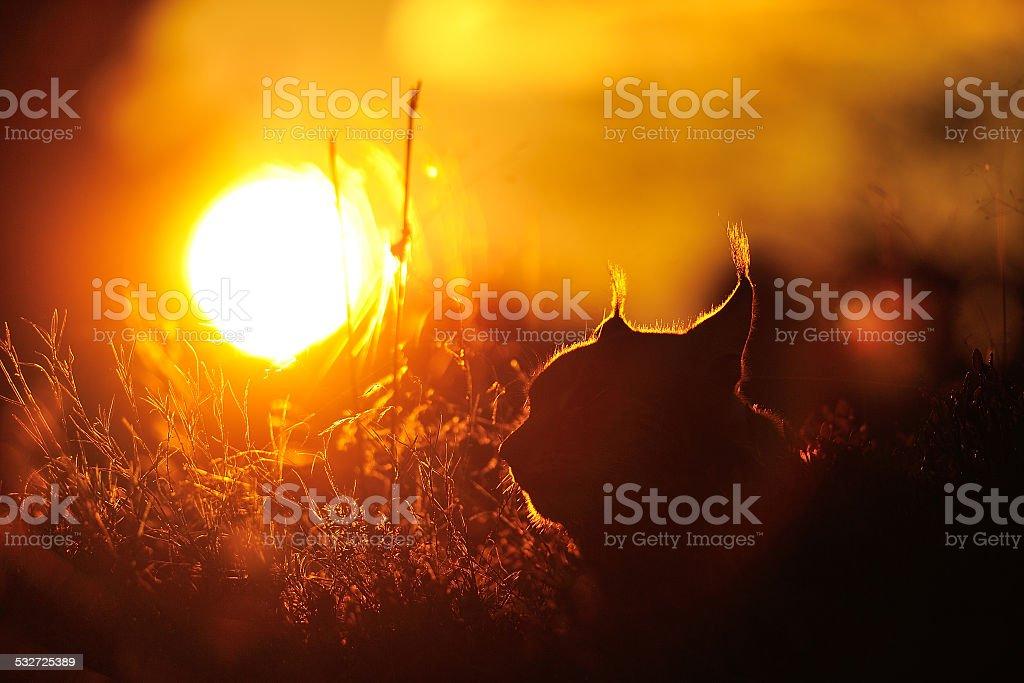 Wunderschöner Sonnenuntergang mit lynx contour – Foto