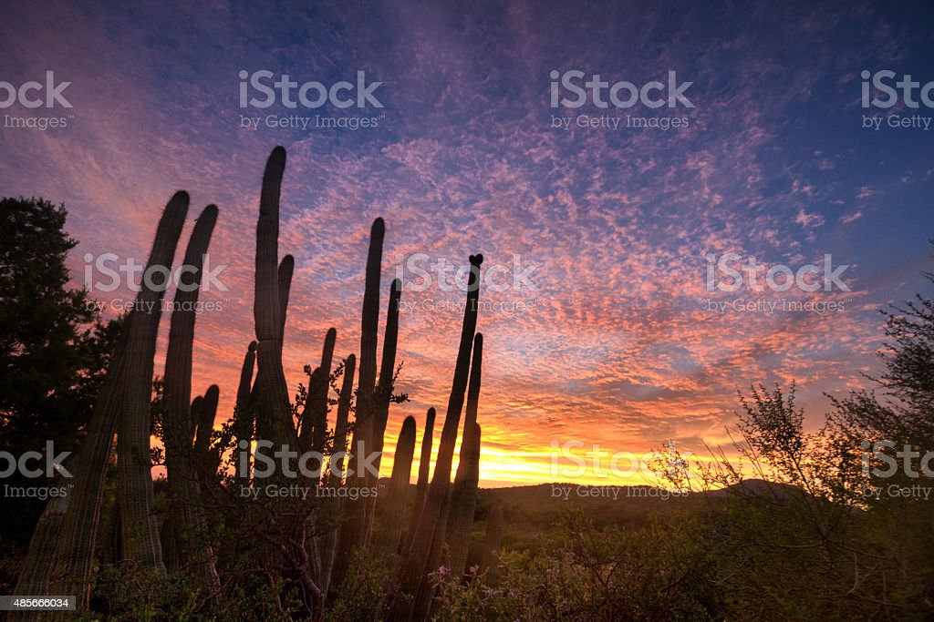 Beautiful Sunset with Saguaro Cactus in the Sonoran Desert stock photo