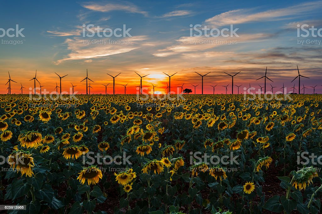 Beautiful sunset with sunflowers and wind turbines. Cuenca, Spain, Europe. stock photo