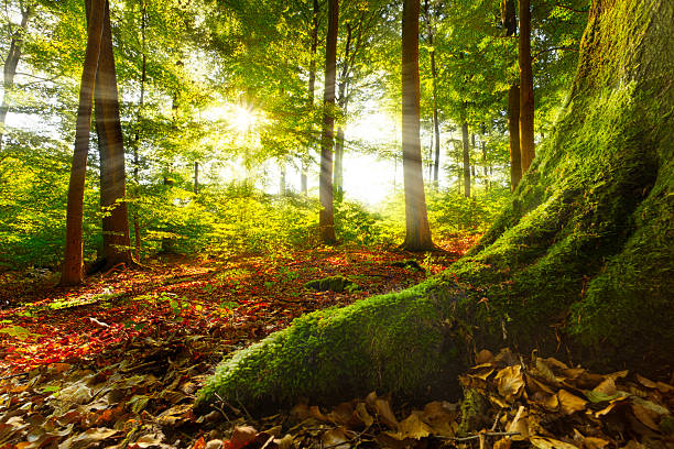 Beautiful sunshine penetrating through into quiet forest sunrays shining into a beech forest, mossy root in foreground leads into image, location:warstein,sauerland,germany, similar hdr images available environmental consciousness stock pictures, royalty-free photos & images