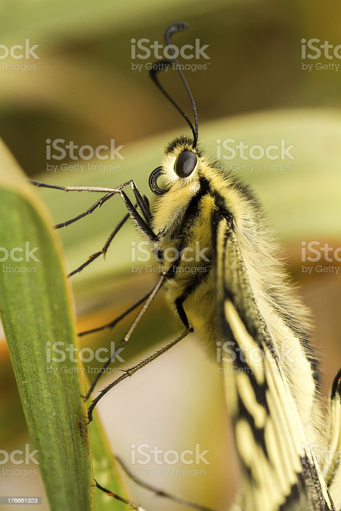 beautiful Swallowtail (Papilio machaon) butterfly insect royalty-free stock photo