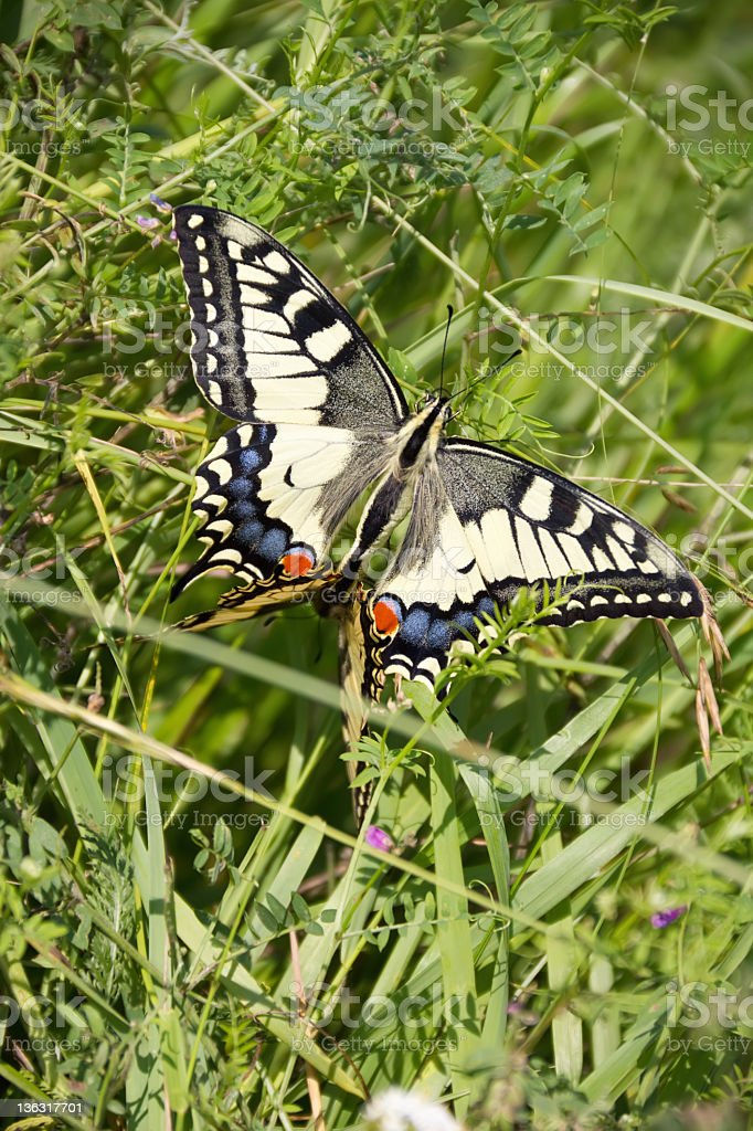 beautiful swallowtail butterfly royalty-free stock photo