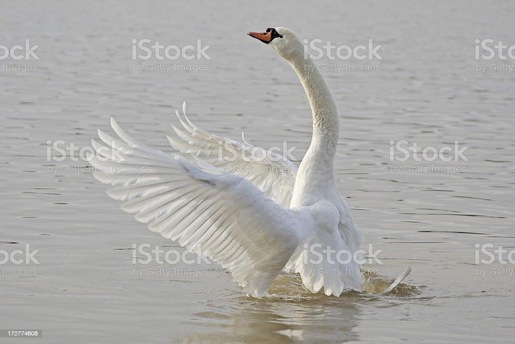 Beautiful Swan royalty-free stock photo