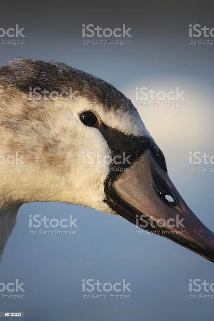 Beautiful Swan royalty-free stock photo