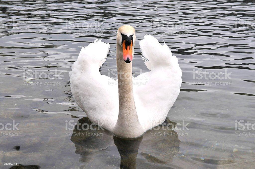 아름다운 백조의 royalty-free 스톡 사진