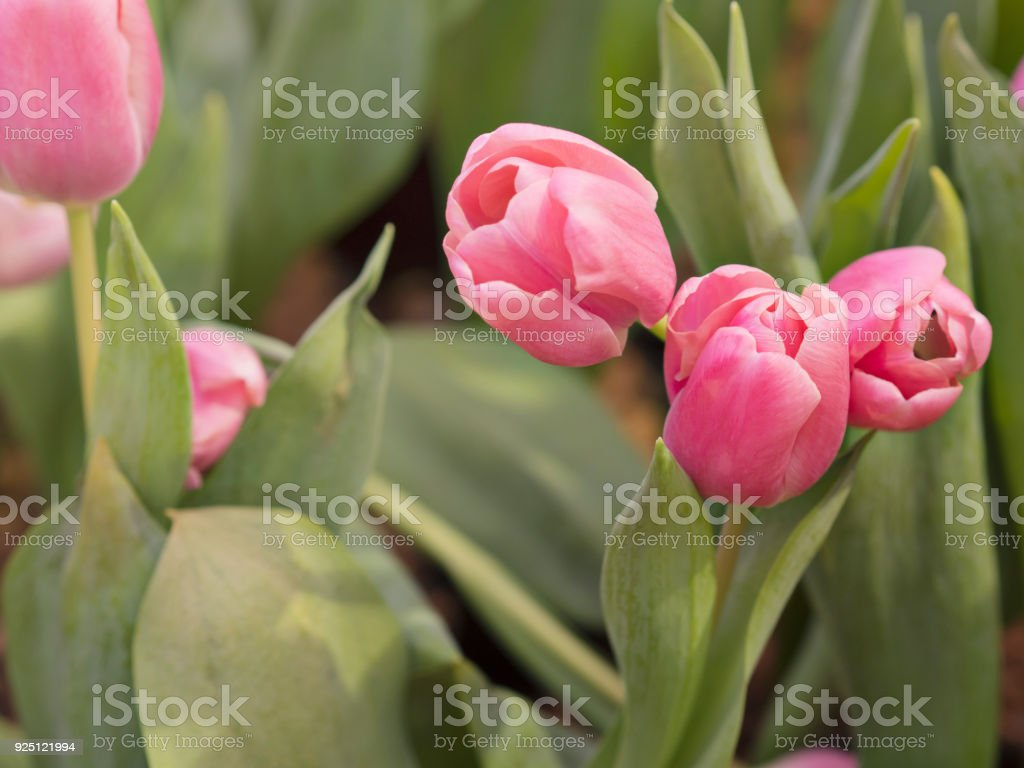 Beautiful sweet pink color tulips in tulips fields with fresh green color leaves for nature spring season stock photo