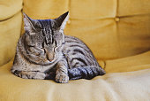 Beautiful tabby cat with green eyes and red nose lying indoors, close up. Domestic European shorthair ten months old cat.