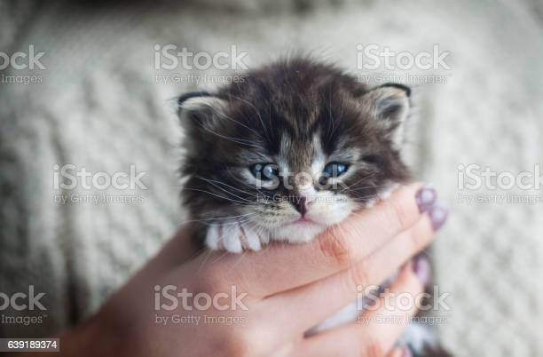 Beautiful tabby kitten in the hands of a young girl picture id639189374?b=1&k=6&m=639189374&s=612x612&h=acxi16kafuvvnrpxxf73yvwm2kxffvlxqvrwscjokag=