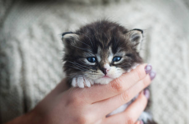 Beautiful tabby kitten in the hands of a young girl picture id639189374?b=1&k=6&m=639189374&s=612x612&w=0&h=biim4g1hmh nf cdaeinpt31rzwgoy4wu5g2oo1v6wg=