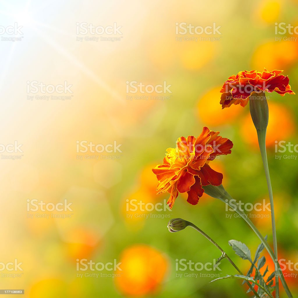 Beautiful tagetes royalty-free stock photo