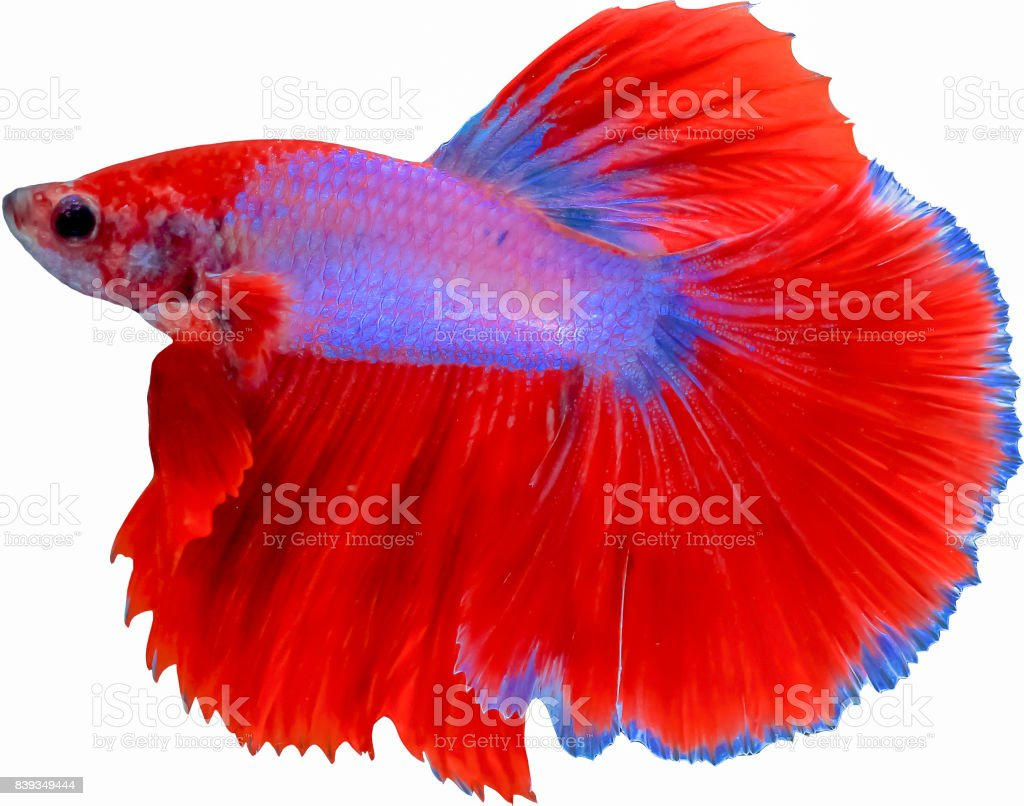 Beautiful Tail Of Red Blue Fighting Fish Isolated On White