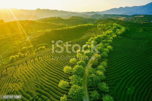 Beautiful tea garden mountain